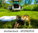Stock photo two ginger cats on summer nature picnic 692983933