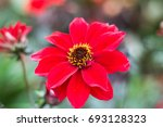 Colorful Red Zinnia Flowers. ...