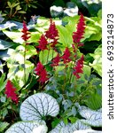 Small photo of Red Astilbe Blooms with White and Green Leaves in garden