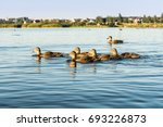 A Group Of Wild Ducks Swims...