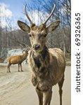 Young Wapiti   Elk