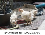 white chickens farm  real... | Shutterstock . vector #693282793