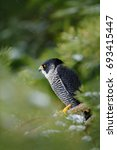 Peregrine Falcon With Fly Snow...