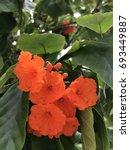 Small photo of Cordia sebestena or Siricote or Kopte or Scarlet cordia or Geiger tree or Boraginaceae flowers.