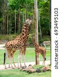 Small photo of AUSTRALIA ZOO, QUEENSLAND,AUSTRALIA-11th DEC 2016:-Giraffes have ample space to roam in the Africa exhibit at the zoo