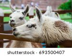 lama  ecuador   Shutterstock . vector #693500407