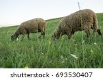 sheep eating grass on meadow.... | Shutterstock . vector #693530407