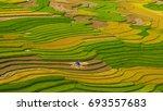 the golden rice season  in tu... | Shutterstock . vector #693557683