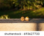 Two Little Acorns On A Wooden...