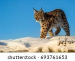 Carpathian Lynx  Lynx Lynx