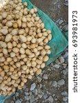 ground chesnut. calathea allouia | Shutterstock . vector #693981973