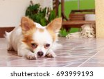 chihuahua dog lying down on the ... | Shutterstock . vector #693999193