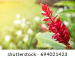 red ginger flower with sunlight ... | Shutterstock . vector #694021423