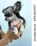 Small photo of Male Chihuahua puppy has a skin lesion of Sarcoptic mange alopecia in the hand of vet . Dog scabies. Dog itch mite. Sarcoptes scabiei.