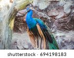 Male Indian Peafowl  Blue...