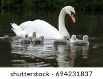 A Group Of Cygnets Not More...