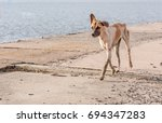Stray Dogs With Very Thin...