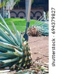 blue agave plant being... | Shutterstock . vector #694379827