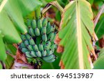 a green banana in the tree. the ... | Shutterstock . vector #694513987