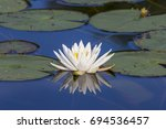 american white water lily or...   Shutterstock . vector #694536457