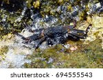 Small photo of Hawaiian 'A 'ama Crab