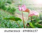 tropical pink flower | Shutterstock . vector #694806157
