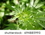 marijuana leaf background... | Shutterstock . vector #694885993