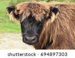 highland cow bodmin moor
