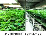 indoor marijuana grow and... | Shutterstock . vector #694927483
