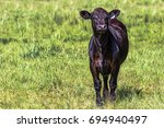 black angus calf  to the right... | Shutterstock . vector #694940497