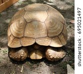 Small photo of Closeup of African Spurred Tortoise.