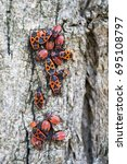 Small photo of Group of adult insects and larvae of the red-winged wingless on the surface of the bark of a tree