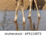 Single Giraffe Standing With...