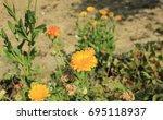 marigold flower in the garden | Shutterstock . vector #695118937
