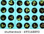 baby  green  and red oak lettuce   Shutterstock . vector #695168893