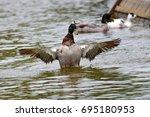 mallard duck flapping its wings ... | Shutterstock . vector #695180953