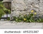 small cluster of dandelion... | Shutterstock . vector #695251387