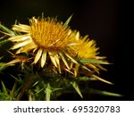 Small photo of Carlina corymbosa, Clustered Carline Thistle