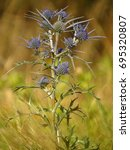 Small photo of Eryngium amethystinum - Amethyst eryngo, Italian eryngo