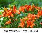 tiger lilies. a wild orange...   Shutterstock . vector #695348383