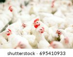 indoors chicken farm  chicken... | Shutterstock . vector #695410933