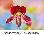 lady's slipper orchid.... | Shutterstock . vector #695501347
