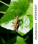 Small photo of Brown Short-horned Grasshopper (Acrididae) on green ivy gourd leaf.