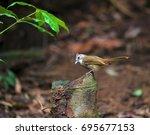 Small photo of Ochraceous Bulbul (Alophoixus ochraceus) perch on log in nature habitat
