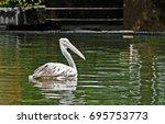 Closeup Spot Billed Pelican Or...