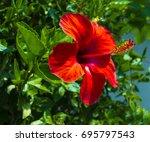 hibiscus. karkade. hibiscus... | Shutterstock . vector #695797543
