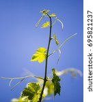 Small photo of Mustache against grapes against the blue sky