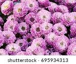 pink chrysanthemum flowers... | Shutterstock . vector #695934313