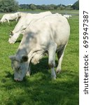 Small photo of The Charolais is a breed of taurine beef cattle from the Charolais area surrounding Charolles. Hanover, Germany
