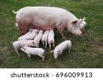 little pigs eating milk from... | Shutterstock . vector #696009913